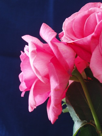 profile-rose-pink.jpg